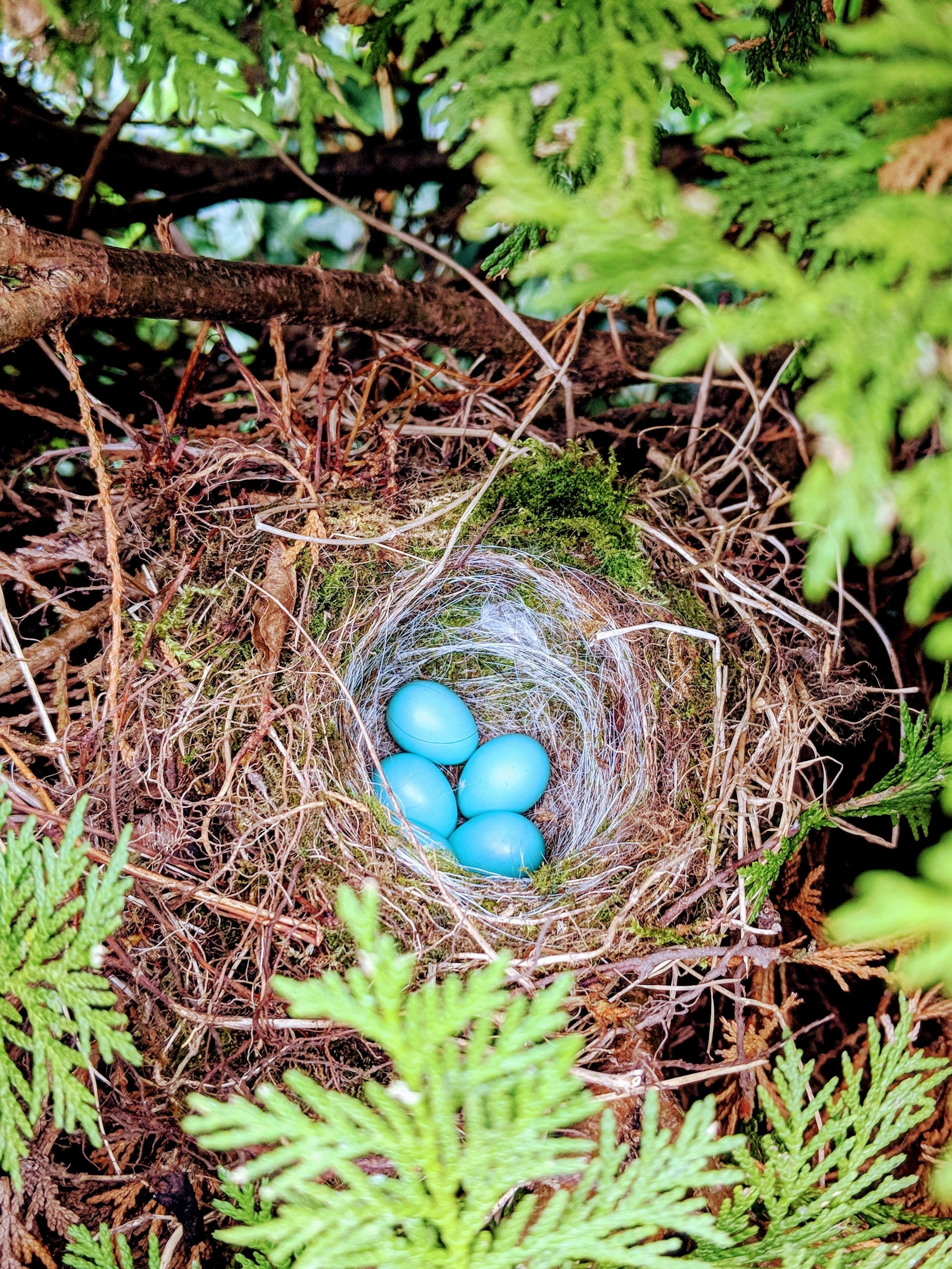 birds-nest-of-twigs-moss-and-hair-with-four-blue-eggs-amid-evergreen-trees