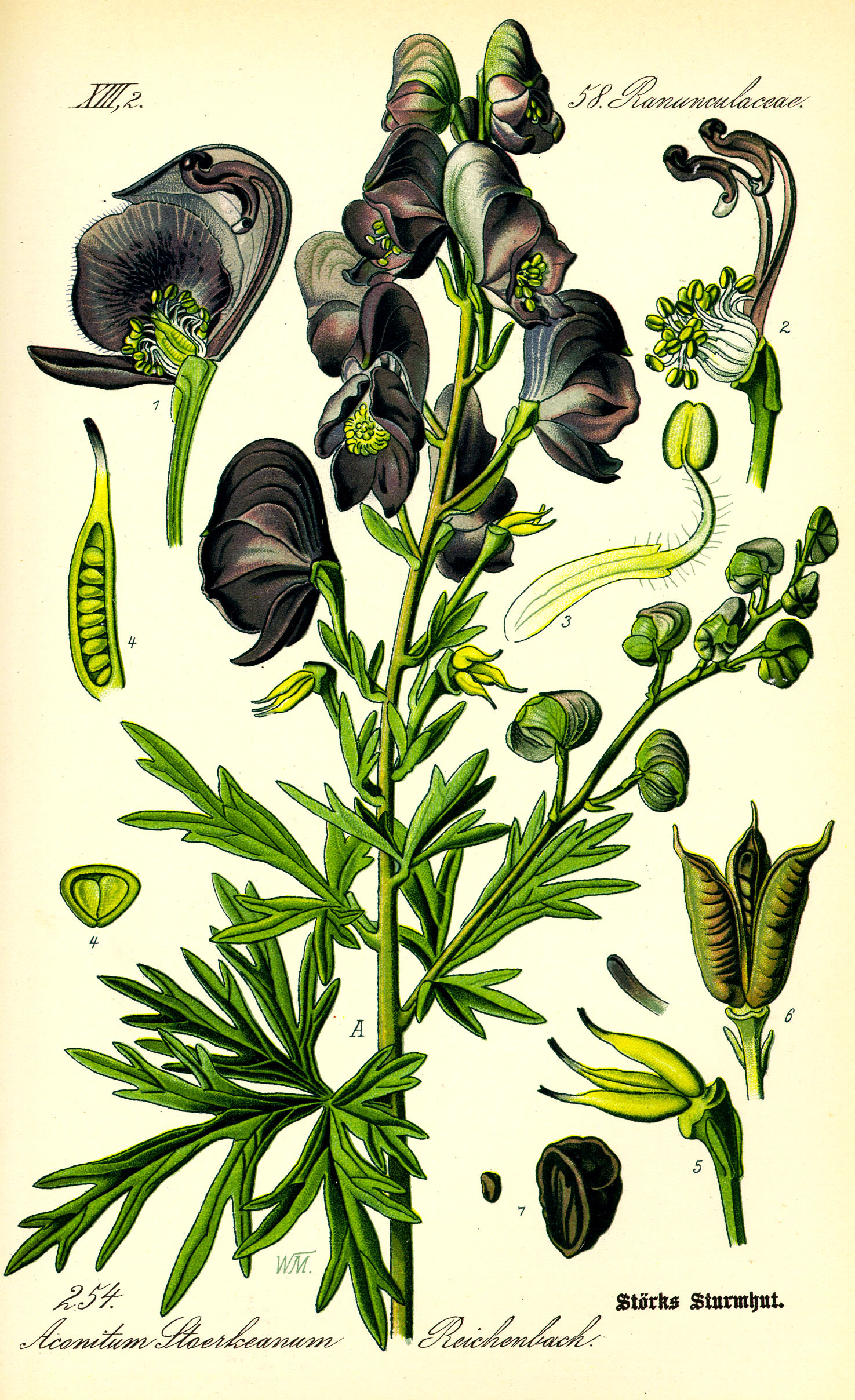 Aconoite-illustration-of-blooming-wolfsbane-with-purple-flowers
