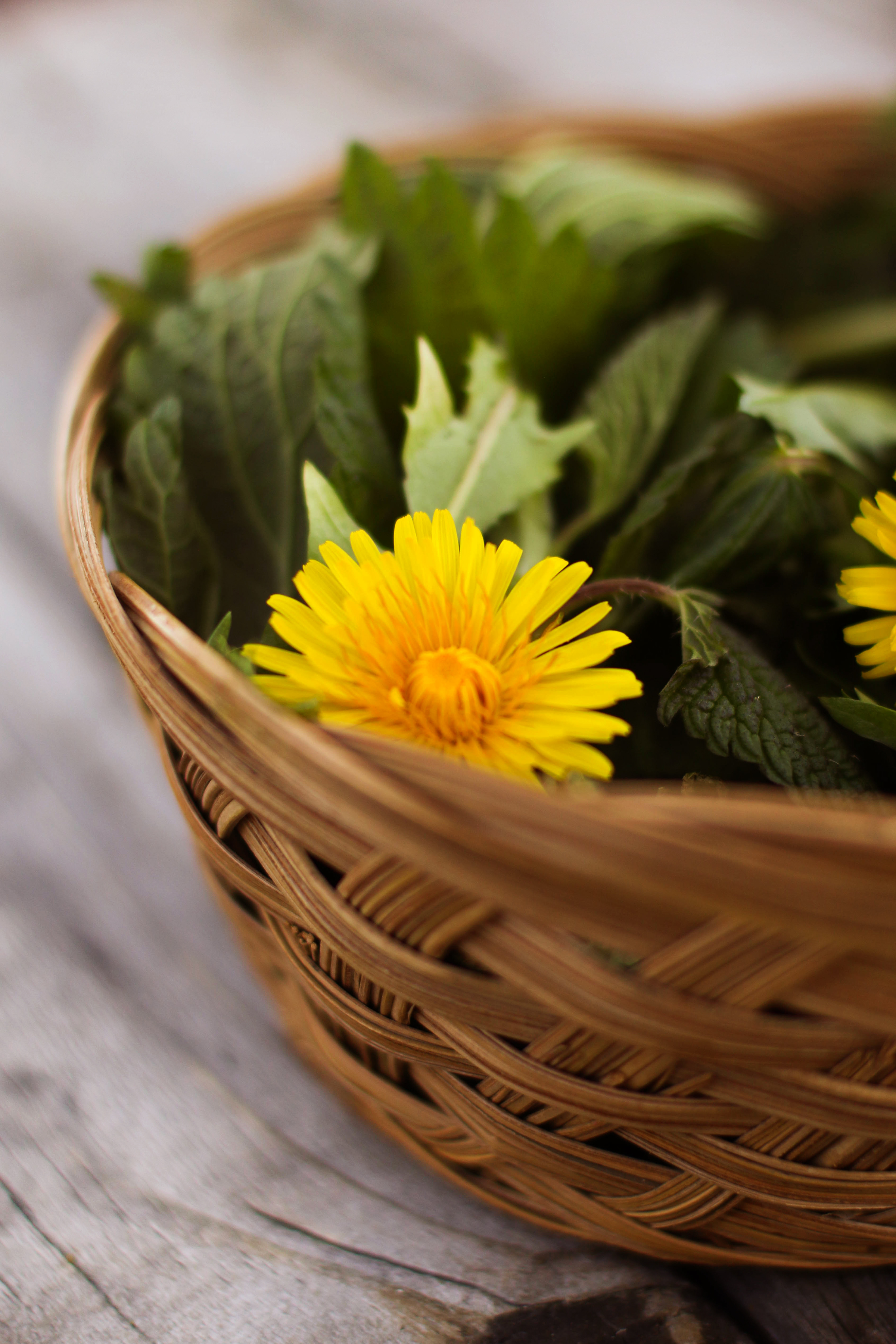 wicker-basket-of-fresh-dandelion-blossoms-and-leaves-and-stinging-nettles