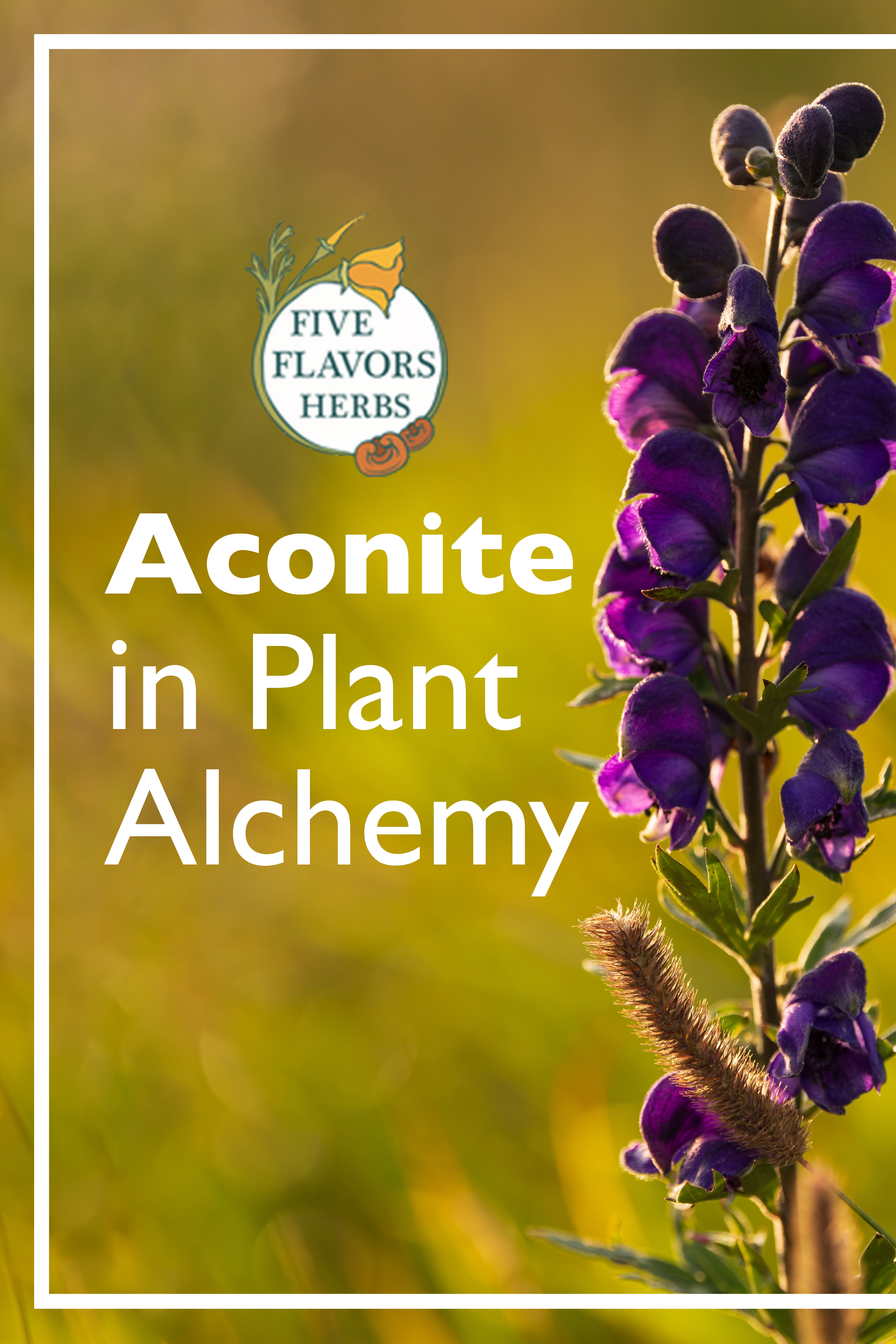 aconite-in-plant-alchemy-pin-from-five-flavors-herbs